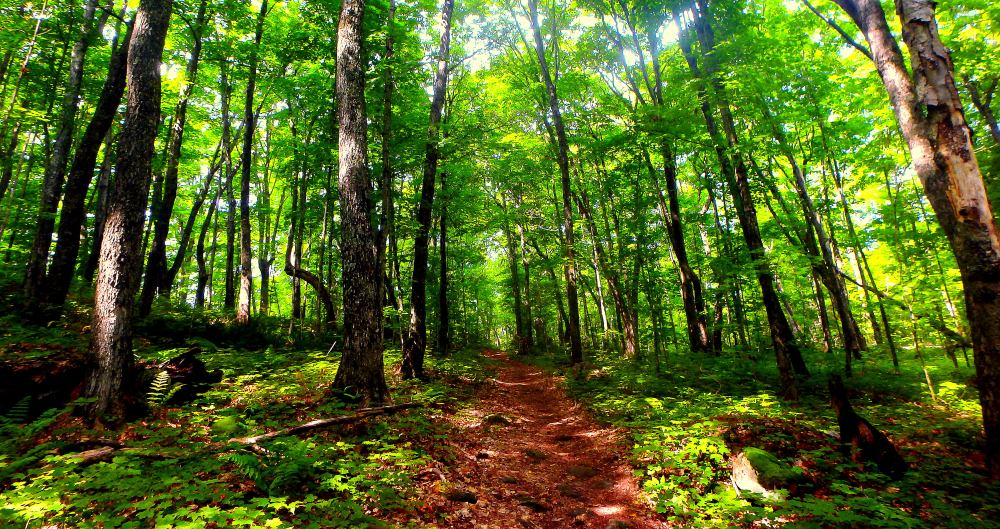 The Lookout Trail provides for spectacular views of luscious forest. Towering Maple trees shelter the trail, providing adequate shade to the forest floor and hikers.
